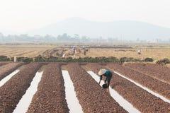 HAI DUONG, VIETNAM, il 18 ottobre: agricoltori che crescente le verdure nella t Fotografie Stock Libere da Diritti