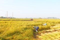 HAI DUONG, VIETNAM, SEPTEMBER, 29: Vietnamese woman farmer harve Stock Photos