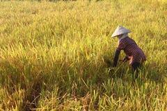 HAI DUONG, WIETNAM, WRZESIEŃ, 29: Wietnamski kobieta rolnika harve Fotografia Stock