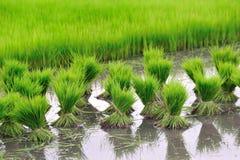 Hai style rice growth Stock Photo