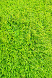 Haie éclatante d'arbuste de vert vif Images libres de droits