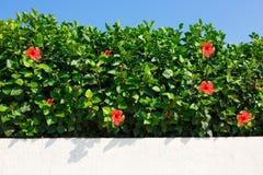 Haie de vert de Bush avec la ketmie rouge images libres de droits