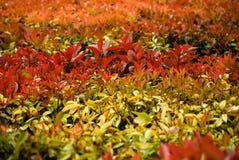 Haie des feuilles rouges Photographie stock libre de droits