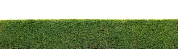 Haie verte d'isolement Photo stock