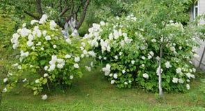 Haie verte d'un hortensia blanc Photos libres de droits