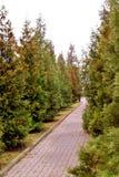 Haie verte des arbres de thuja rayés le long de l'allée photographie stock libre de droits