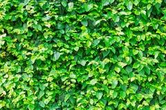 Haie verte naturelle de feuille Images stock