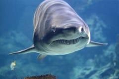 Haifisch Lizenzfreie Stockfotos
