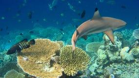 Haifisch Stockbild