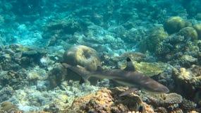 Haifisch Stockfotografie