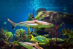 Haifisch Lizenzfreie Stockbilder