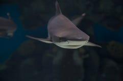 Haifisch. lizenzfreie stockbilder