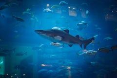 Haifisch Lizenzfreies Stockfoto