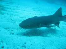 Haifisch in Belize Zentralamerika Lizenzfreies Stockfoto