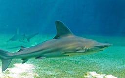 Haifisch, der in das Meer, Unterwassermeer Leben schwimmt lizenzfreie stockfotografie