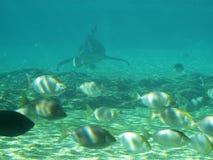 Haifisch, der in den shallows auftaucht Lizenzfreies Stockfoto