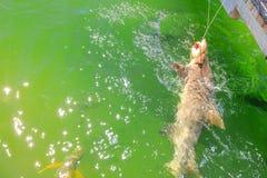 Haifisch, der WA antrifft stockfotos
