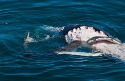 Haifisch, der Wal isst lizenzfreie stockbilder