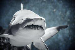Haifisch, der in Wasser schwimmt lizenzfreie stockfotografie