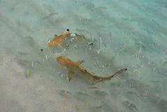 Haifisch-Fütterung stockfotos