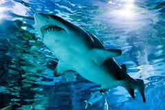 Haifisch im Aquarium - Tropicarium, Budapest stockbilder