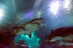 Haifisch im oceanarium stockfotos