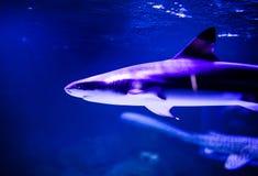 Haifisch im tiefen blauen Wasser stockfoto