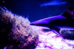Haifisch im tiefen blauen Wasser lizenzfreies stockfoto