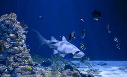 Haifisch im Wasser stockbilder