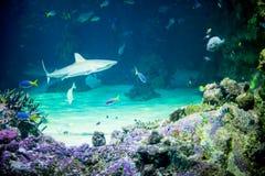 Haifisch im Wasser Lizenzfreies Stockbild