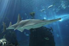Haifisch in Lissabon Oceanarium Stockbild