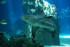 Haifisch in Lissabon Oceanarium lizenzfreie stockfotografie