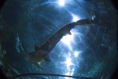 Haifisch in loro Park stockbilder