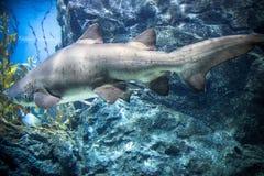 Haifisch mit anderen Fischen schwimmt im tiefen stockbilder
