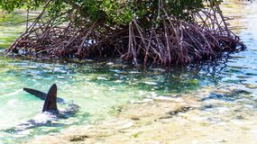 Haifisch mit seiner Flosse aus dem Wasser nahe bei einem tropischen Baum heraus stockbilder