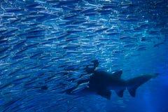 Haifisch mit vielen Fischen im Aquarium lizenzfreie stockbilder