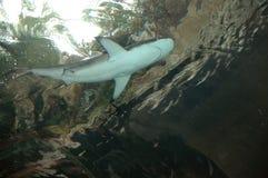 Haifisch obenliegend Stockfoto