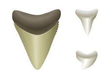 Haifisch \ 's-Zähne. Megalodon, groß, Tiger-Haifisch Lizenzfreie Stockbilder