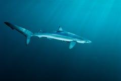 Haifisch und Freund Stockbild