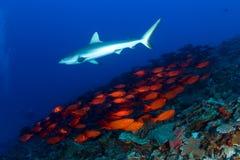 Haifisch und Schule der Fische Stockbild