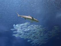 Haifisch und Schule von Makrelenfischen stockfoto