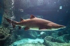 Haifisch Unterwasser Lizenzfreie Stockfotografie