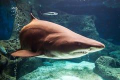 Haifisch Unterwasser Lizenzfreie Stockfotos