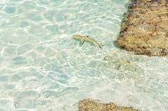 Haifisch von Malediven lizenzfreies stockbild