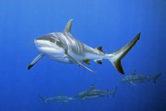 Haifische Stockfotos