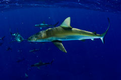 Haifische! Stockfotos