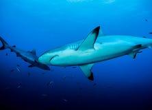 Haifische, die herum schwimmen Lizenzfreies Stockfoto
