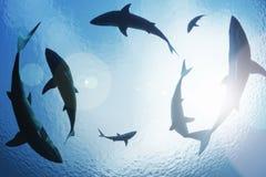 Haifische, die von oben einkreisen Stockfotografie