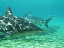 Haifische im flachen lizenzfreie stockbilder