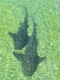 Haifische im Strand Salvador DA Bahia brasilien Stockfotografie
